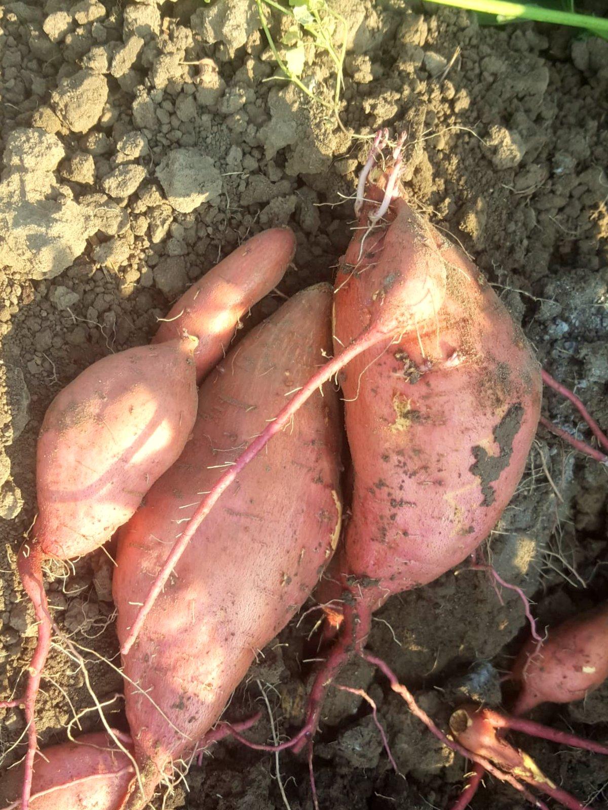 Ernte Süßkartoffel
